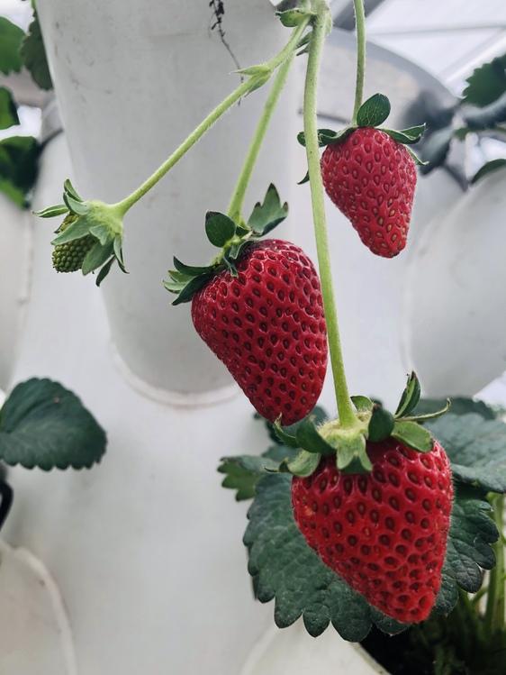 Seedless Fruit,Alpine Strawberry,Plant