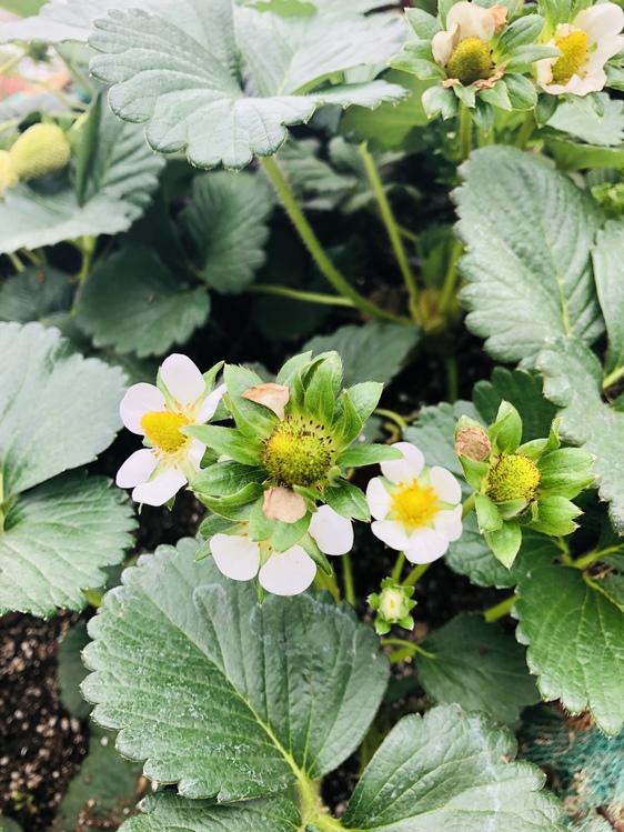Lantana,Plant,Flower