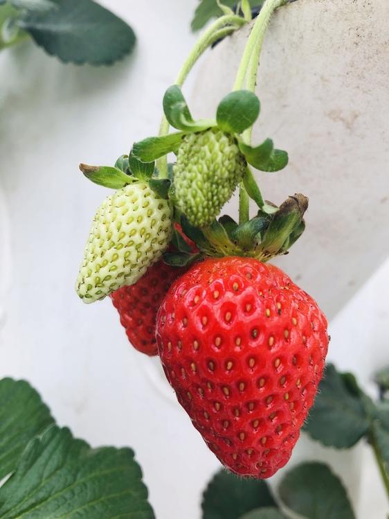 Alpine Strawberry,Plant,Flower