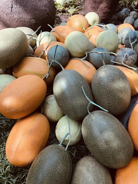 Plant,Honeydew,Gourd