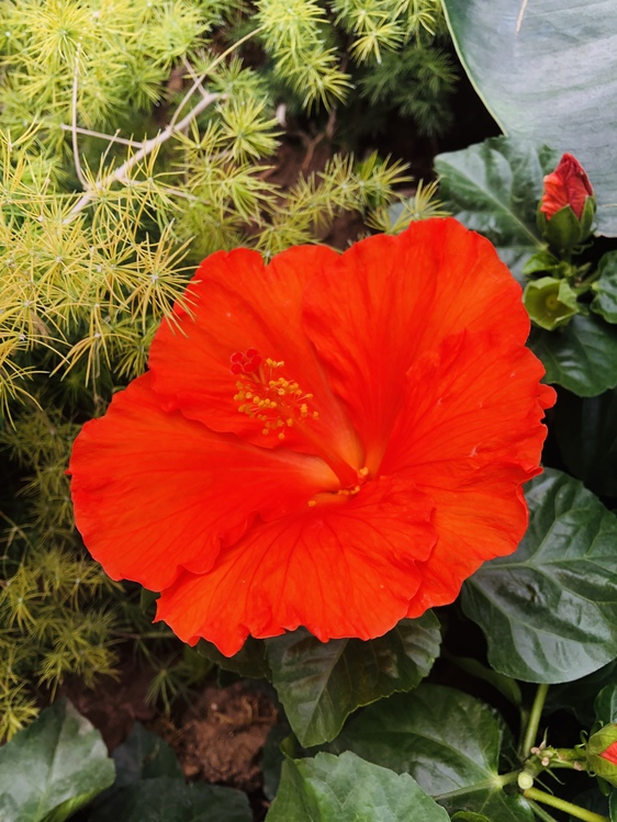 Hibiscus,Plant,Flower