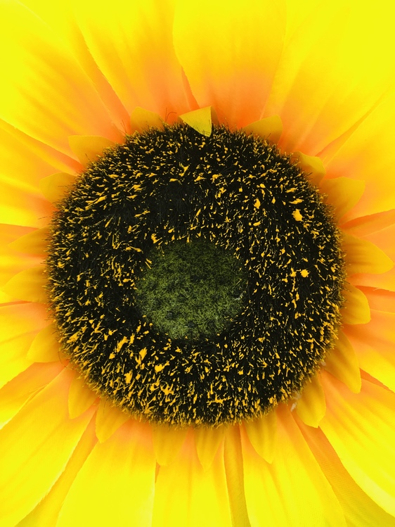 Pollen,Sunflower Seed,Closeup