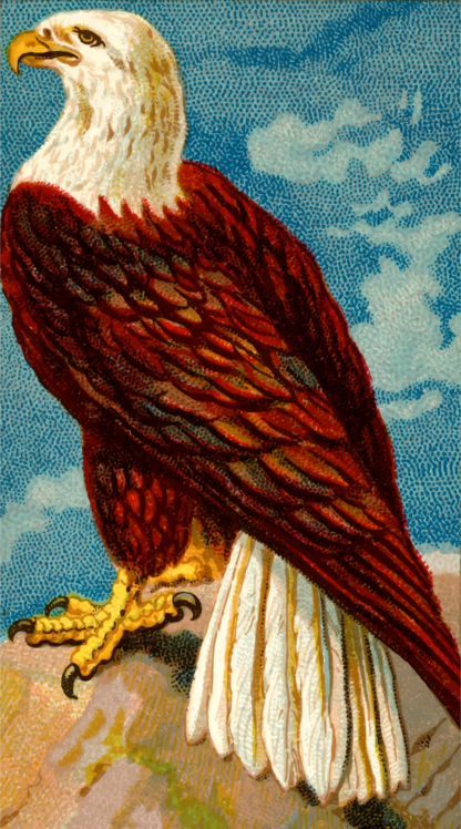 Eagle,Accipitridae,Falconiformes