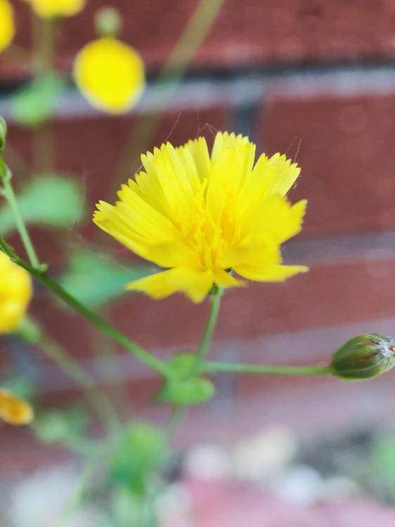 Sow Thistles,Chrysanths,Plant