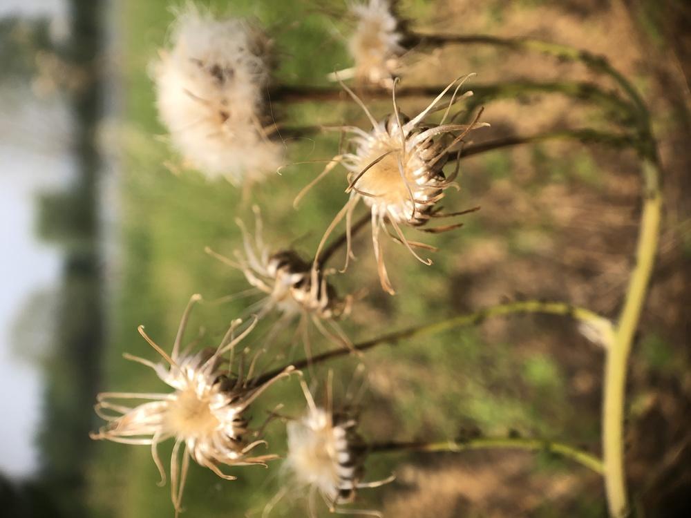 Plant,Flower,Crassocephalum