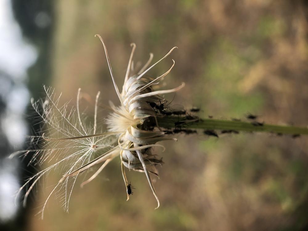 Plant,Flower,Dandelion