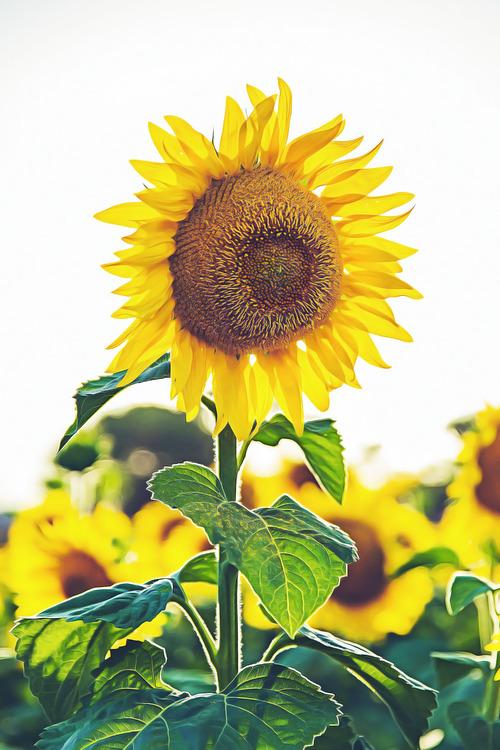 Sunflower Seed,Pollen,Plant