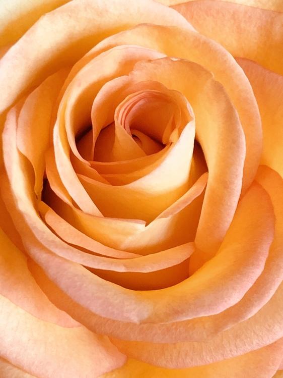 Camellia,Plant,Flower