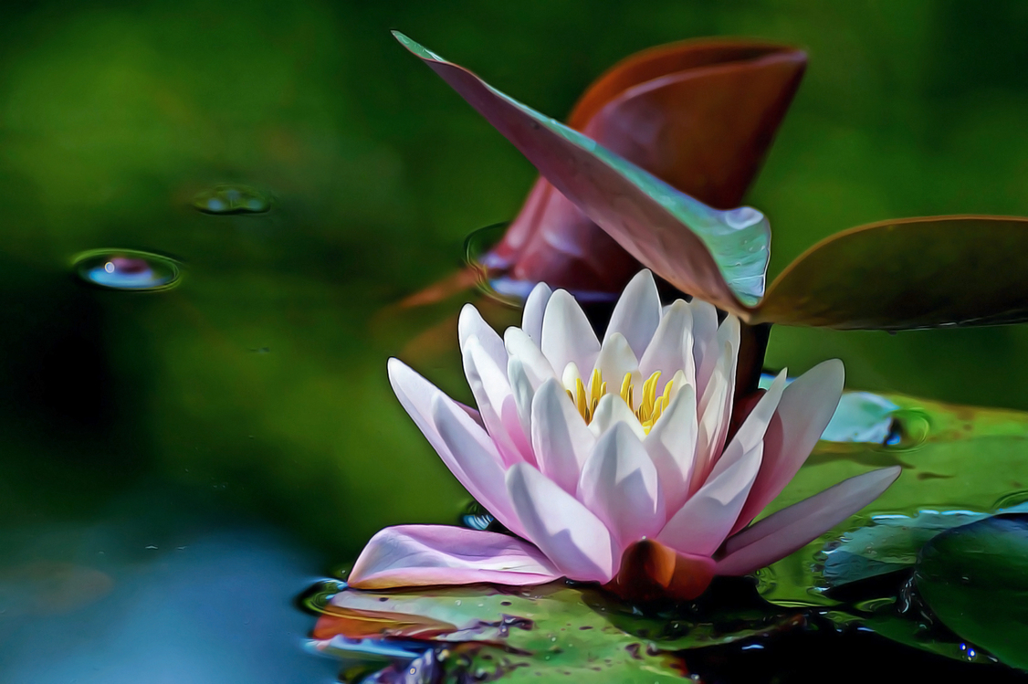 Fragrant White Water Lily,Botany,Plant