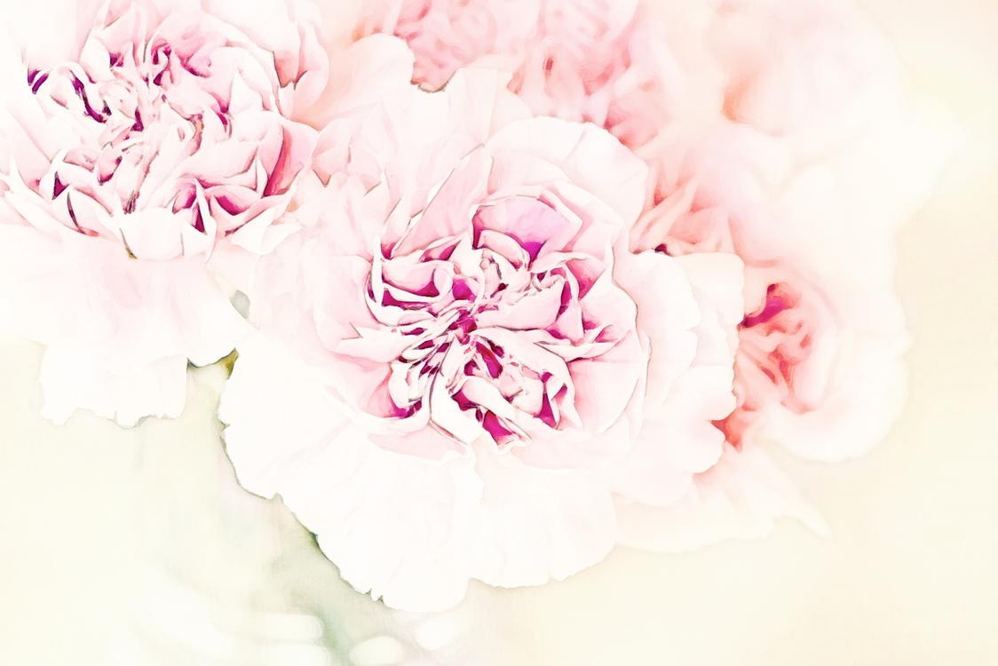 Pink,Rosa × Centifolia,Plant