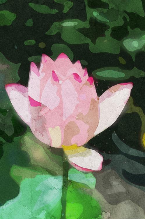 Pink,Flower,Lotus Family