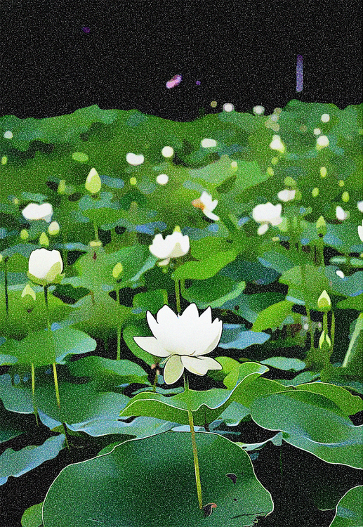 Fragrant White Water Lily,Plant,Flower