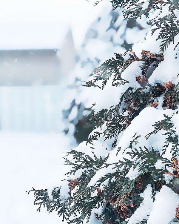 Fir,Pine Family,Colorado Spruce