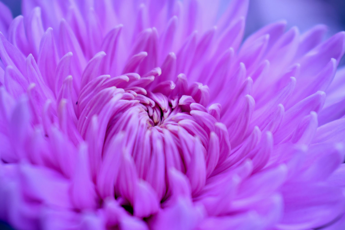 Pink,Chrysanths,Closeup