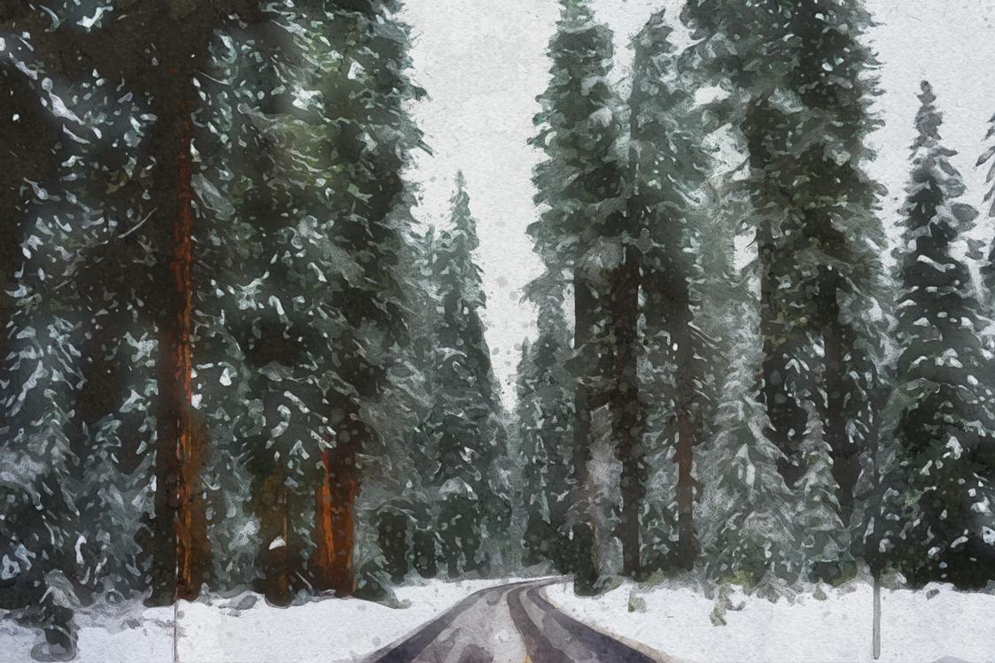 Fir,Oldgrowth Forest,Winter