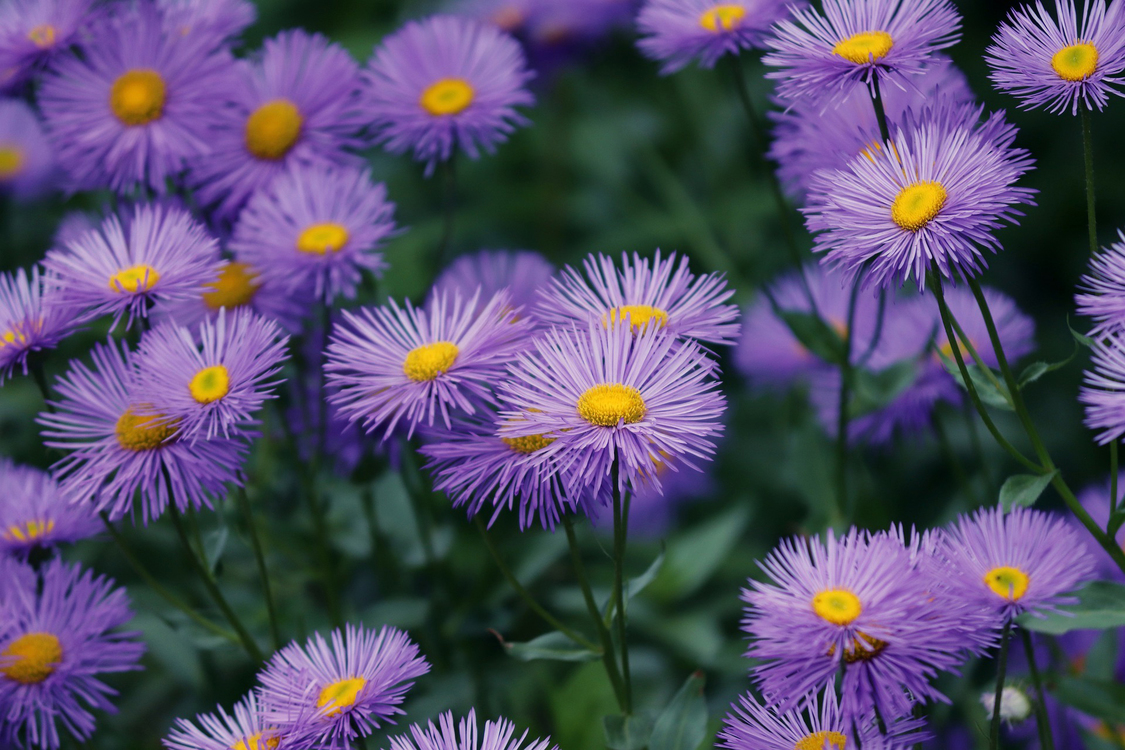 Flower,Perennial Plant,China Aster