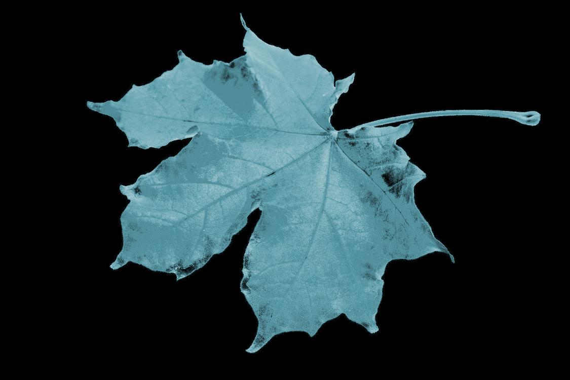 Leaf,Maple Leaf,Tree