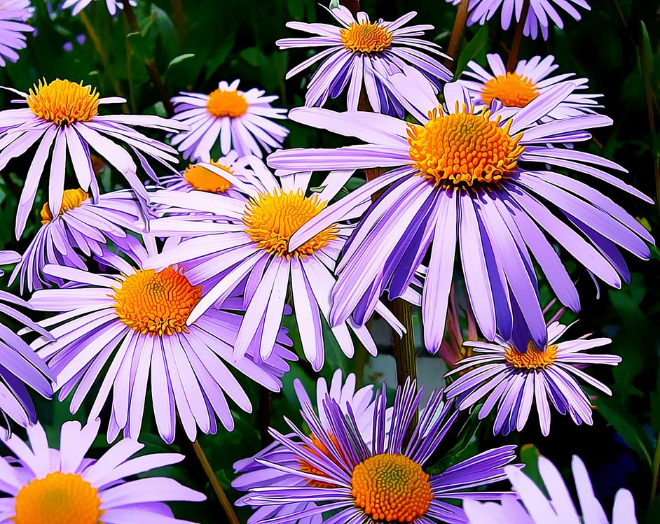 Flower,Flowering Plant,Aromatic Aster