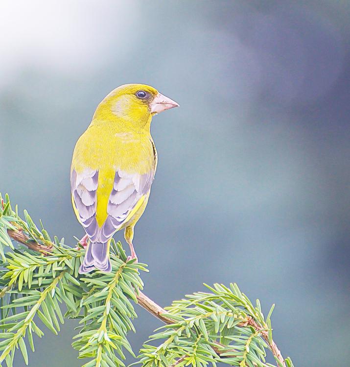 Bird,Beak,Finch