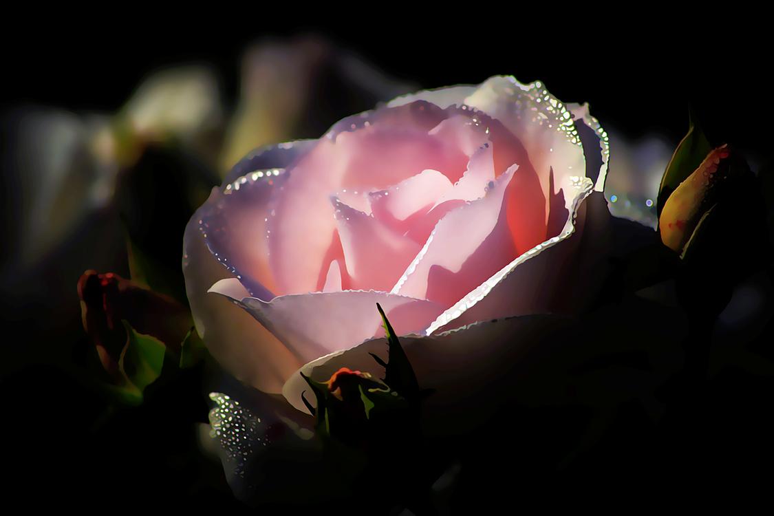 Garden Roses,Rose,Flower