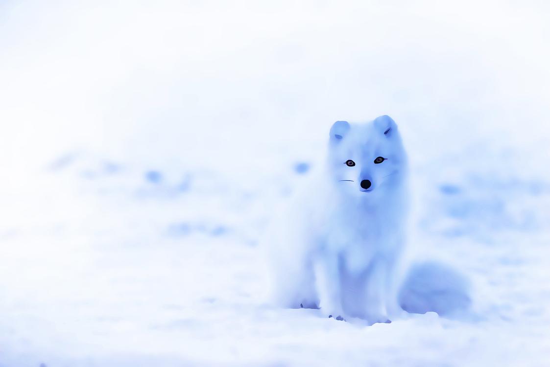 Arctic Fox,Arctic,Natural Environment