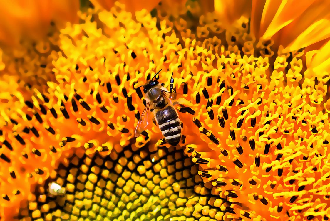 Sunflower,Honeybee,Pollen