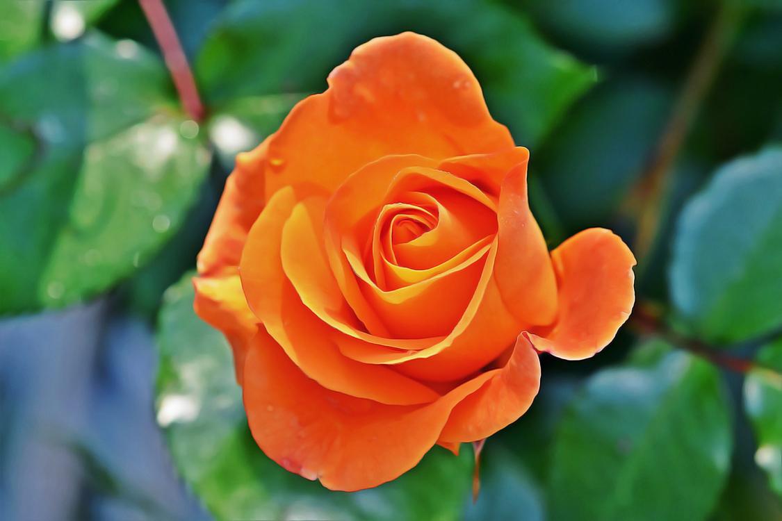 Flower,Flowering Plant,Julia Child Rose