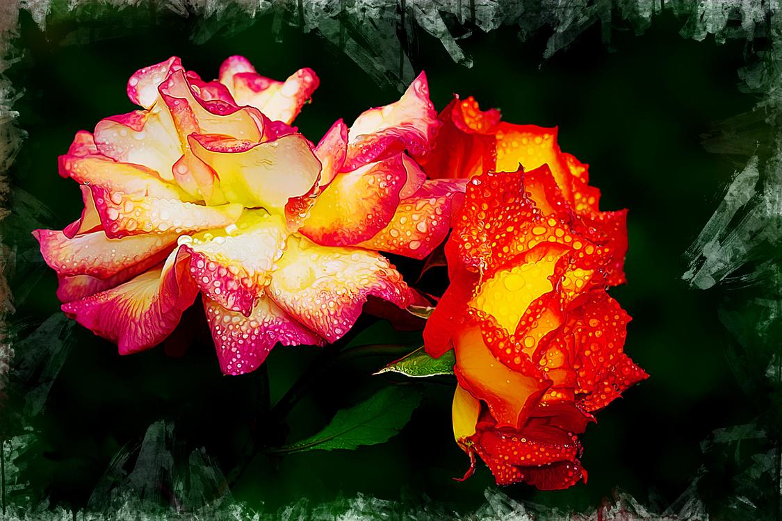 Flower,Flowering Plant,Garden Roses