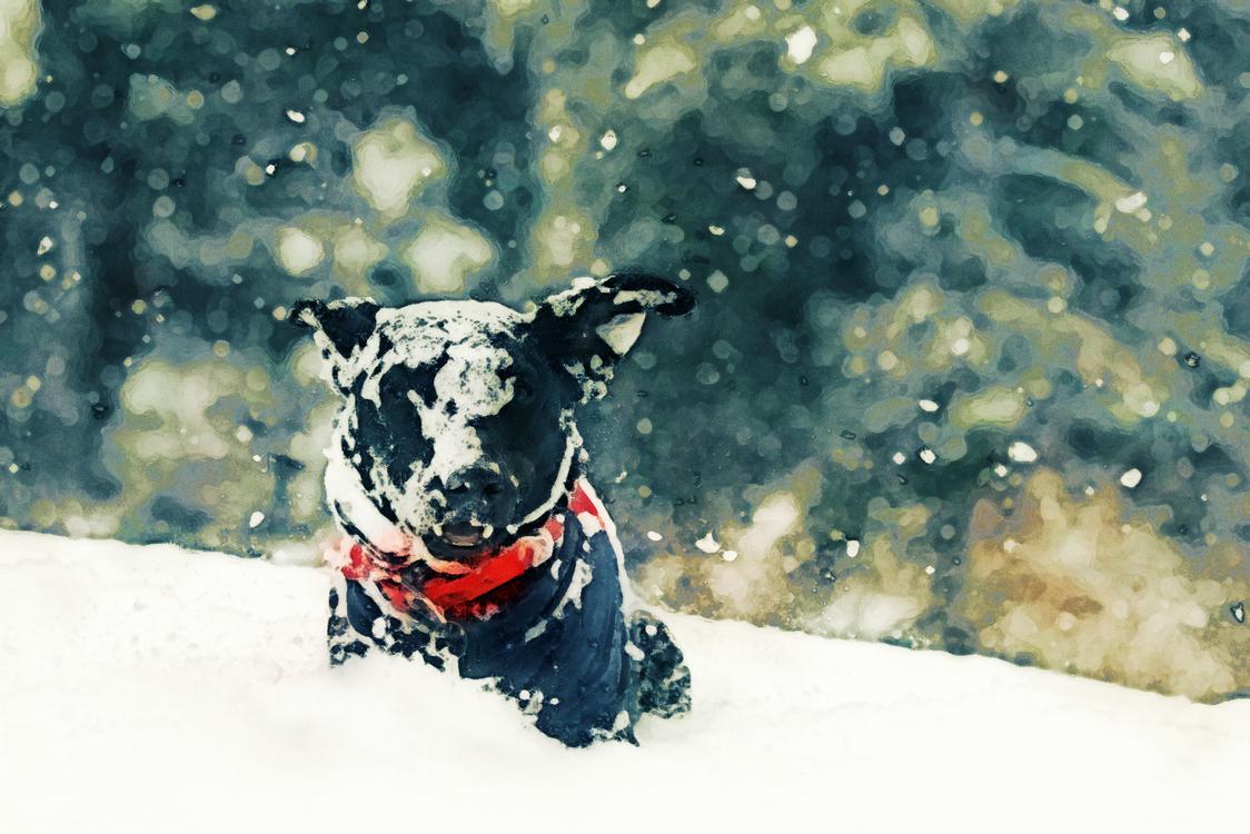 Dog,Dog Breed,Snow