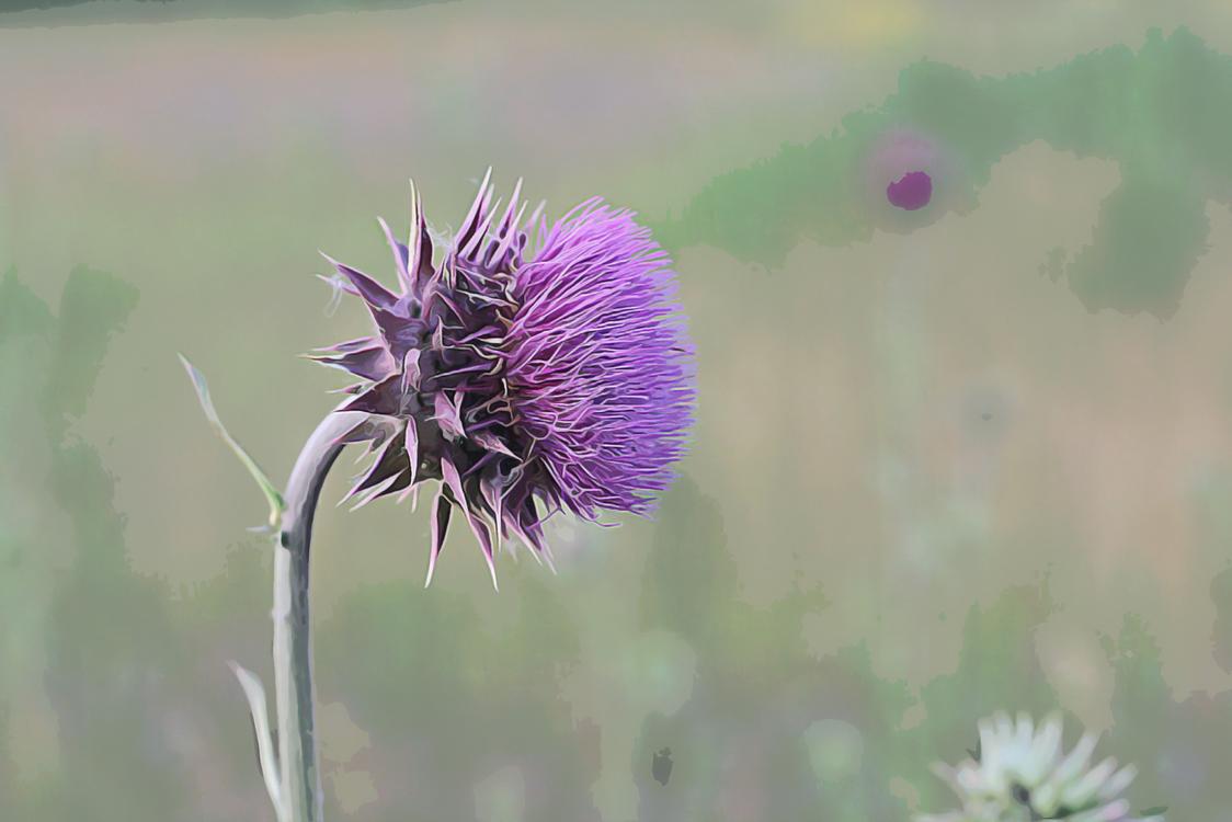 Flowering Plant,Thistle,Plant