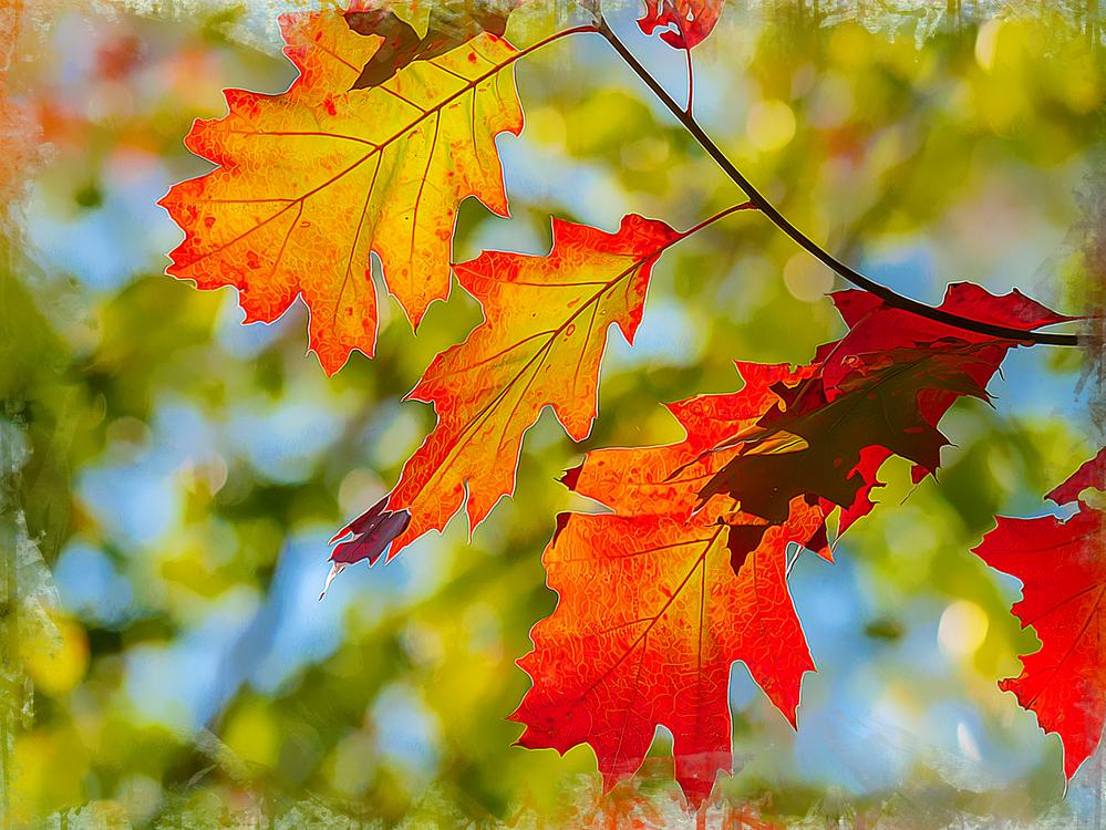 Leaf,Tree,Maple Leaf