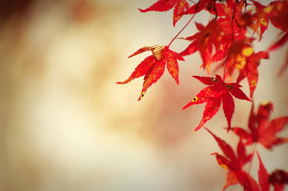 Leaf,Red,Maple Leaf
