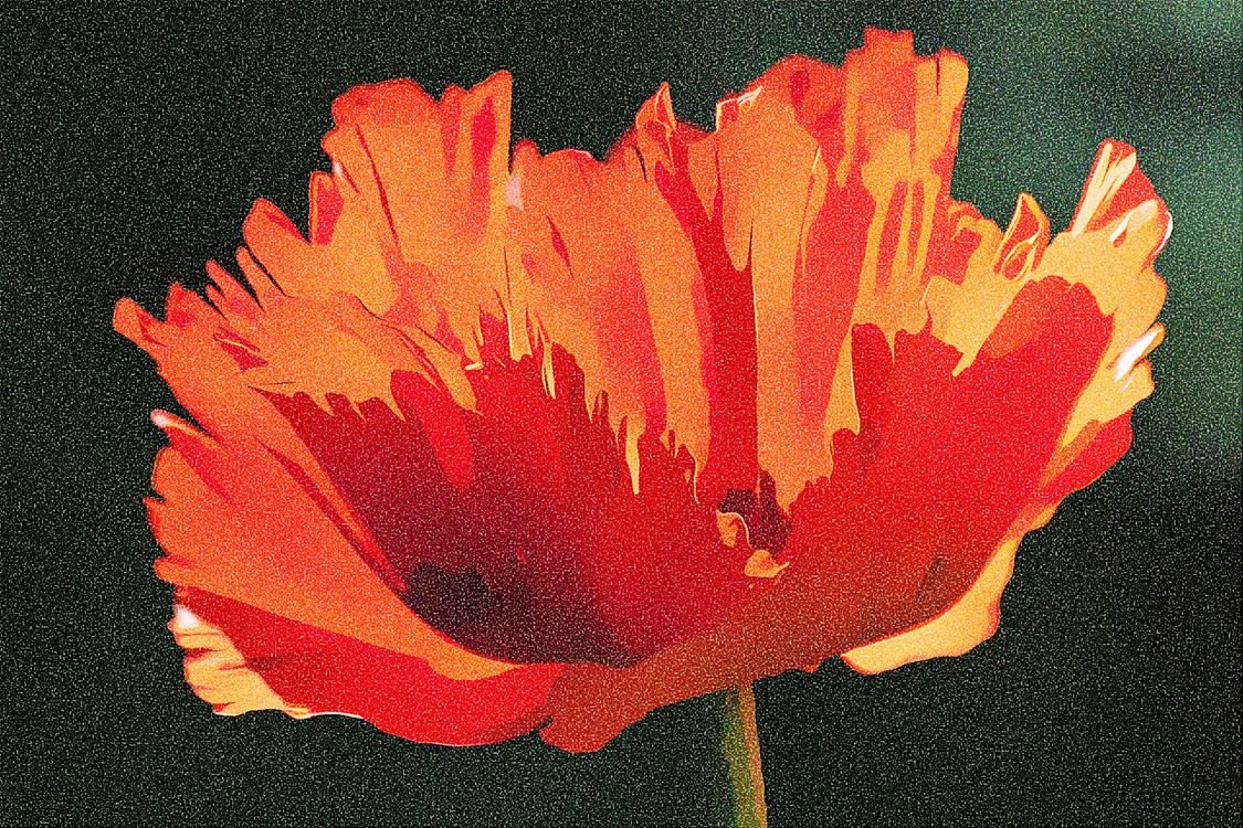 Flower,Red,Petal