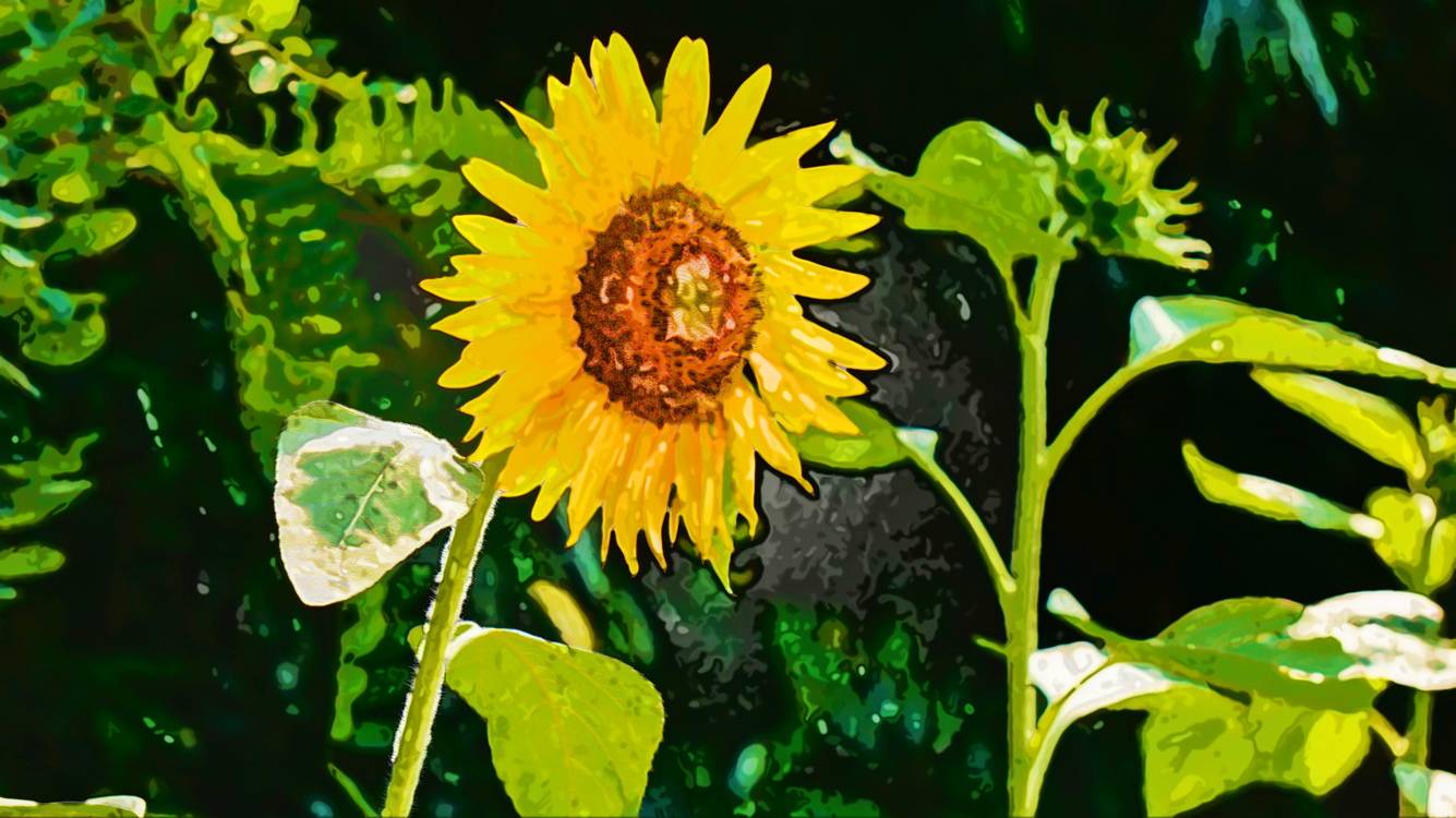 Flower,Sunflower,Yellow