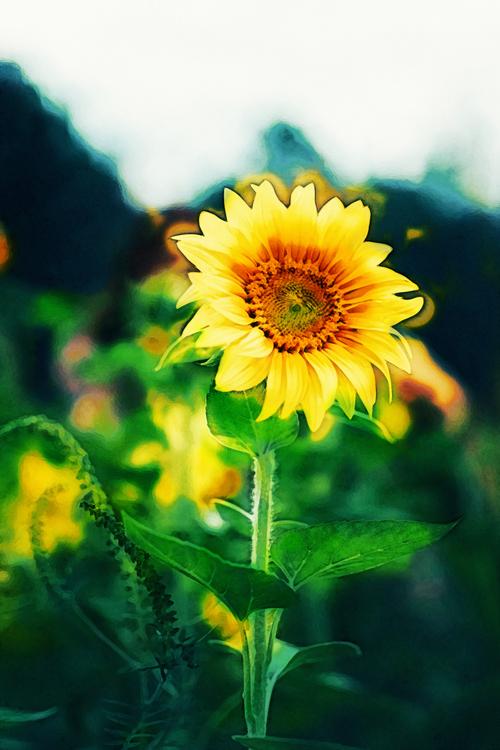 Flower,Flowering Plant,Sunflower