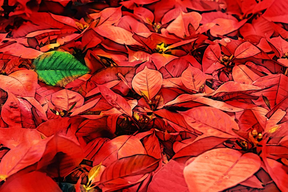 Leaf,Red,Poinsettia