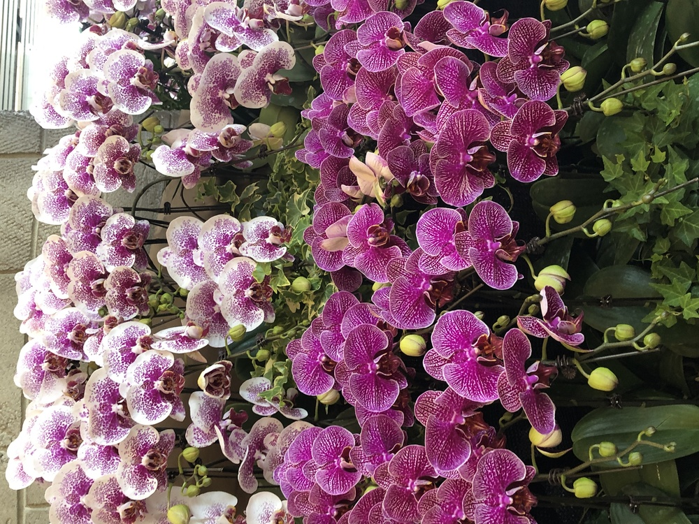 Flower,Flowering Plant,Moth Orchid