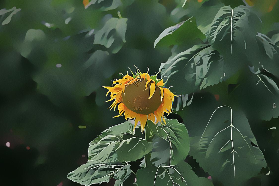 Flower,Sunflower,Yellow