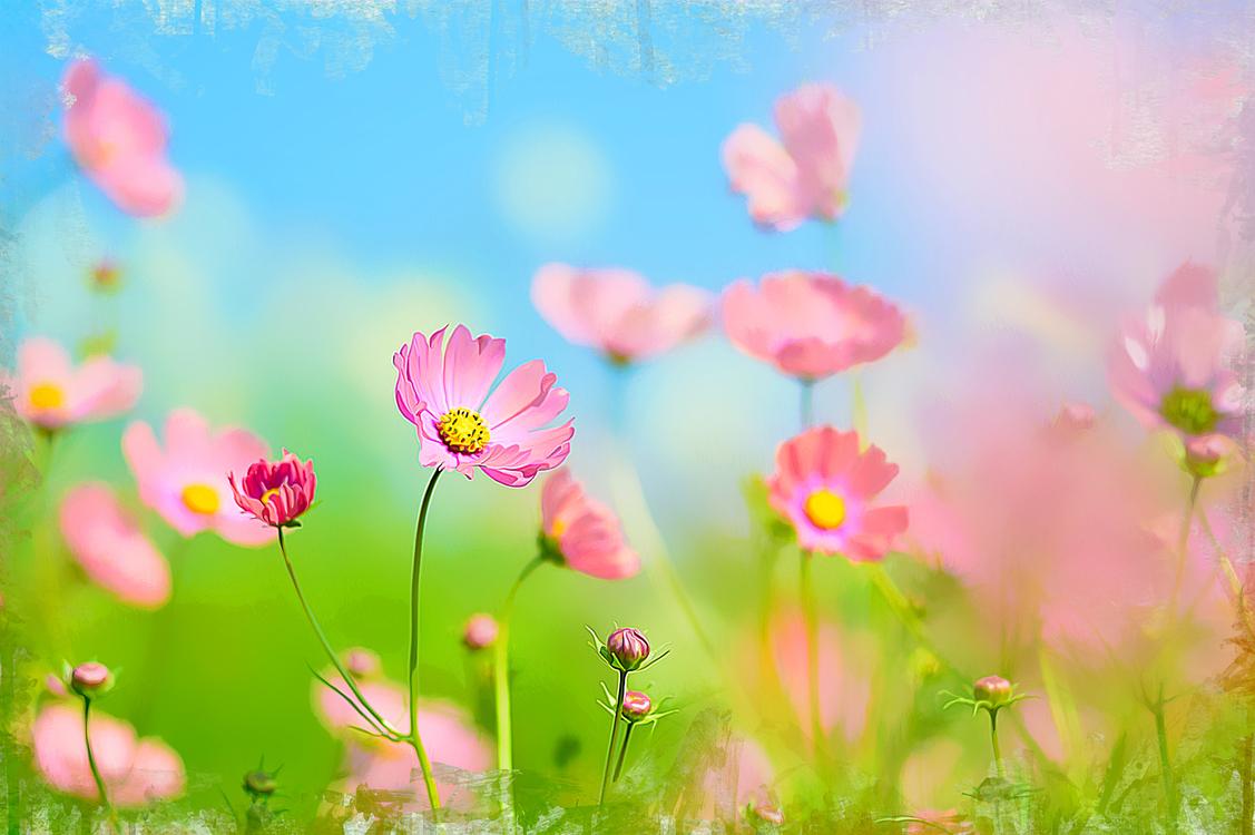 Flower,Flowering Plant,Pink