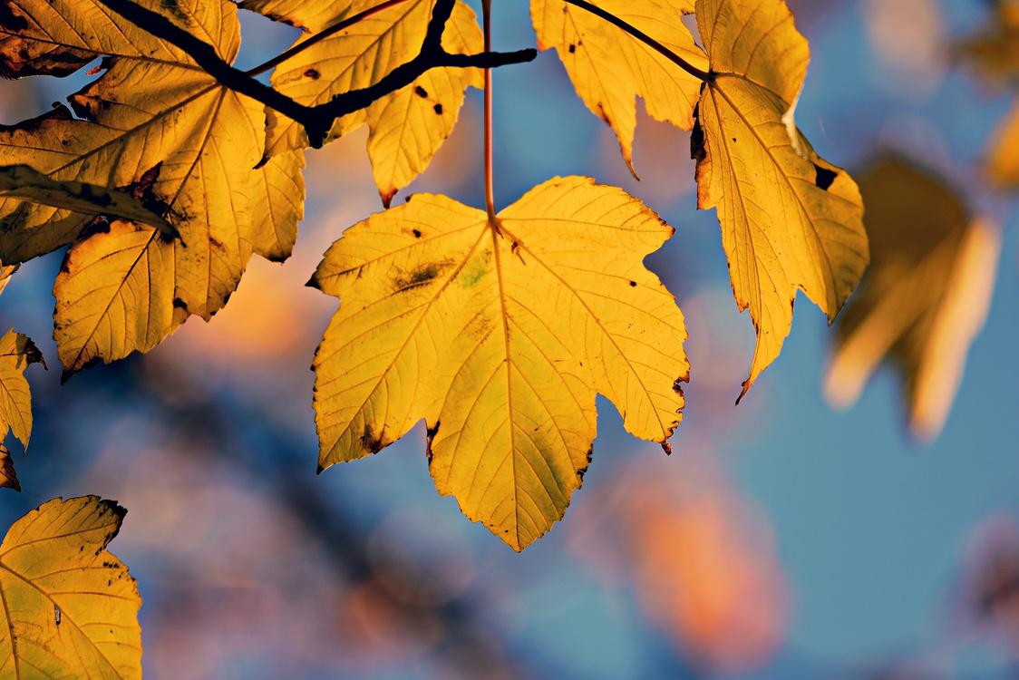 Leaf,Tree,Black Maple