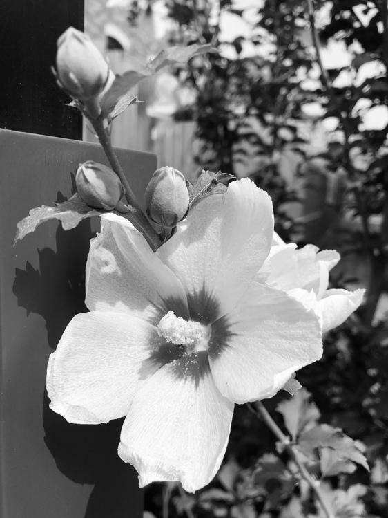 Flower,Petal,Monochrome Photography