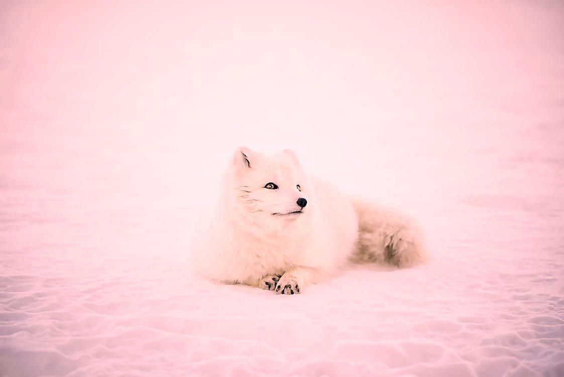 Dog,Pomeranian,Volpino Italiano