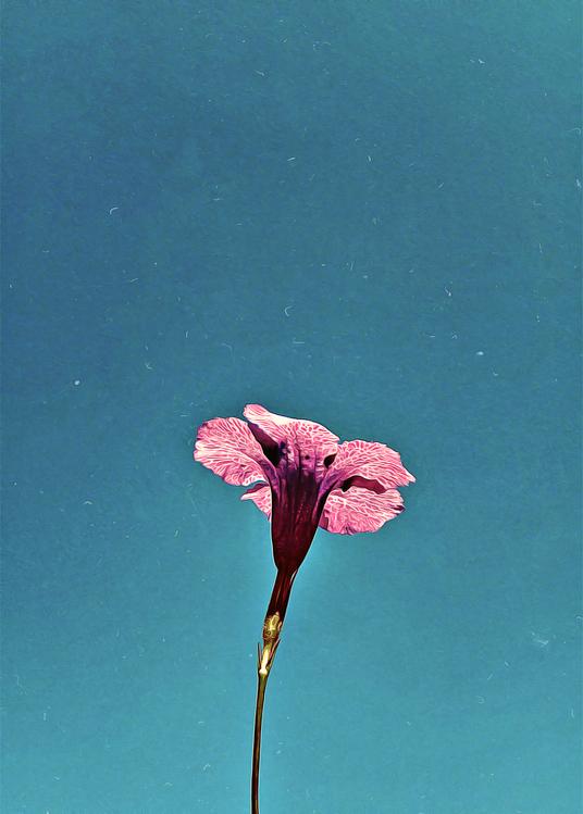Pink,Flower,Blue