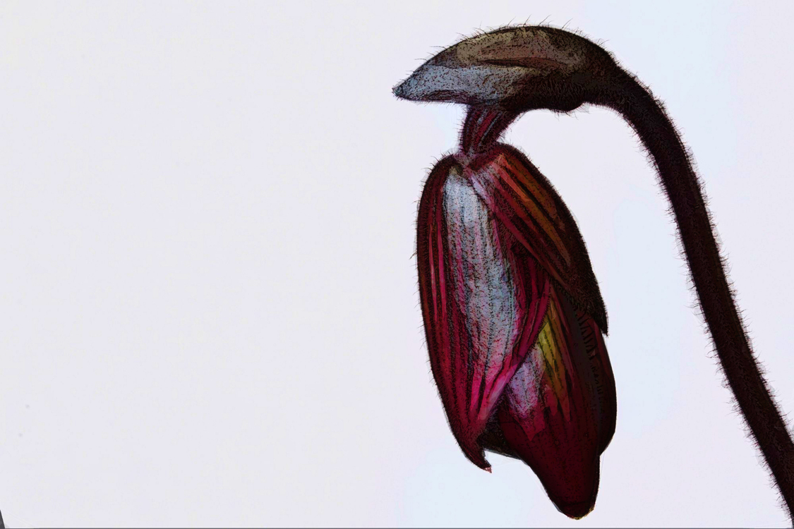 Nepenthes,Plant,Carnivorous Plant