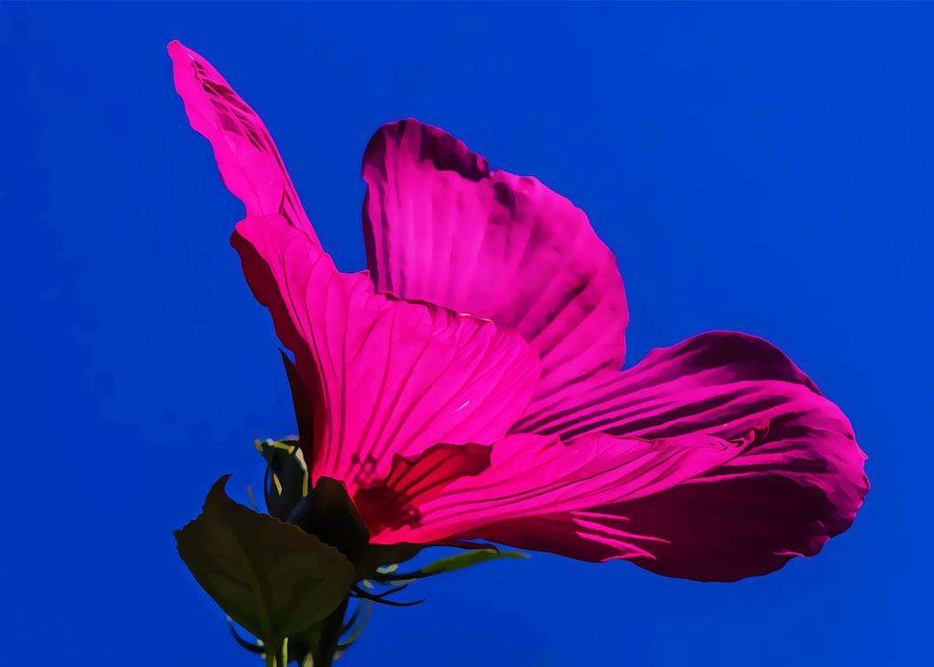 Petal,Pink,Flower