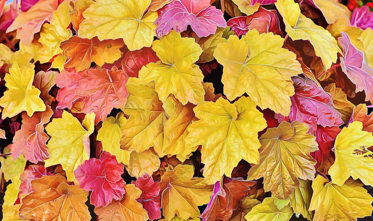 Leaf,Black Maple,Flower