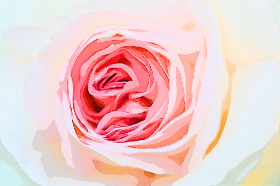 Garden Roses,Rose,Pink