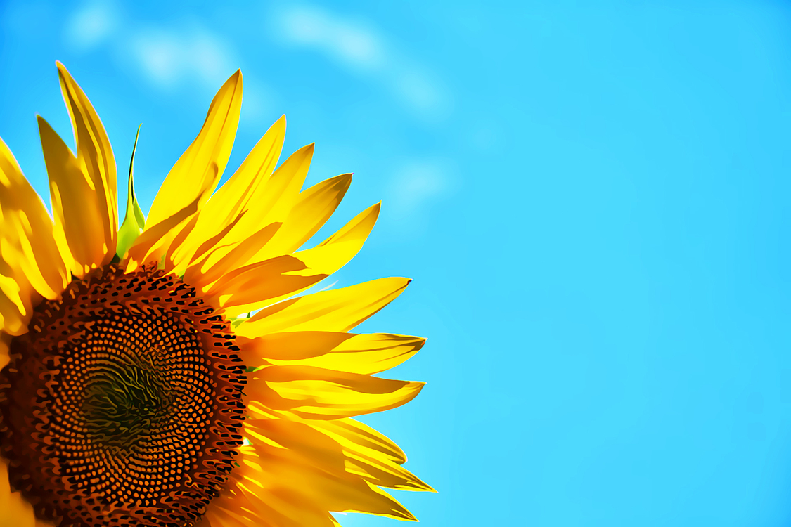 Sunflower,Flower,Yellow