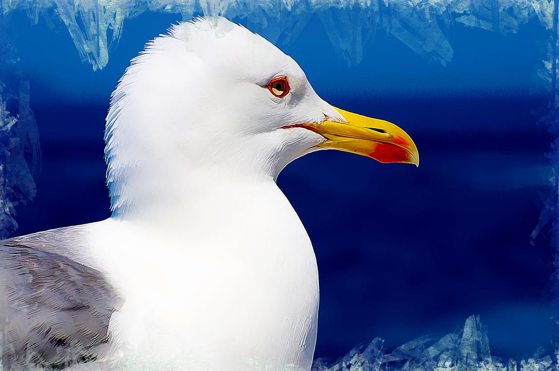 Bird,Beak,European Herring Gull