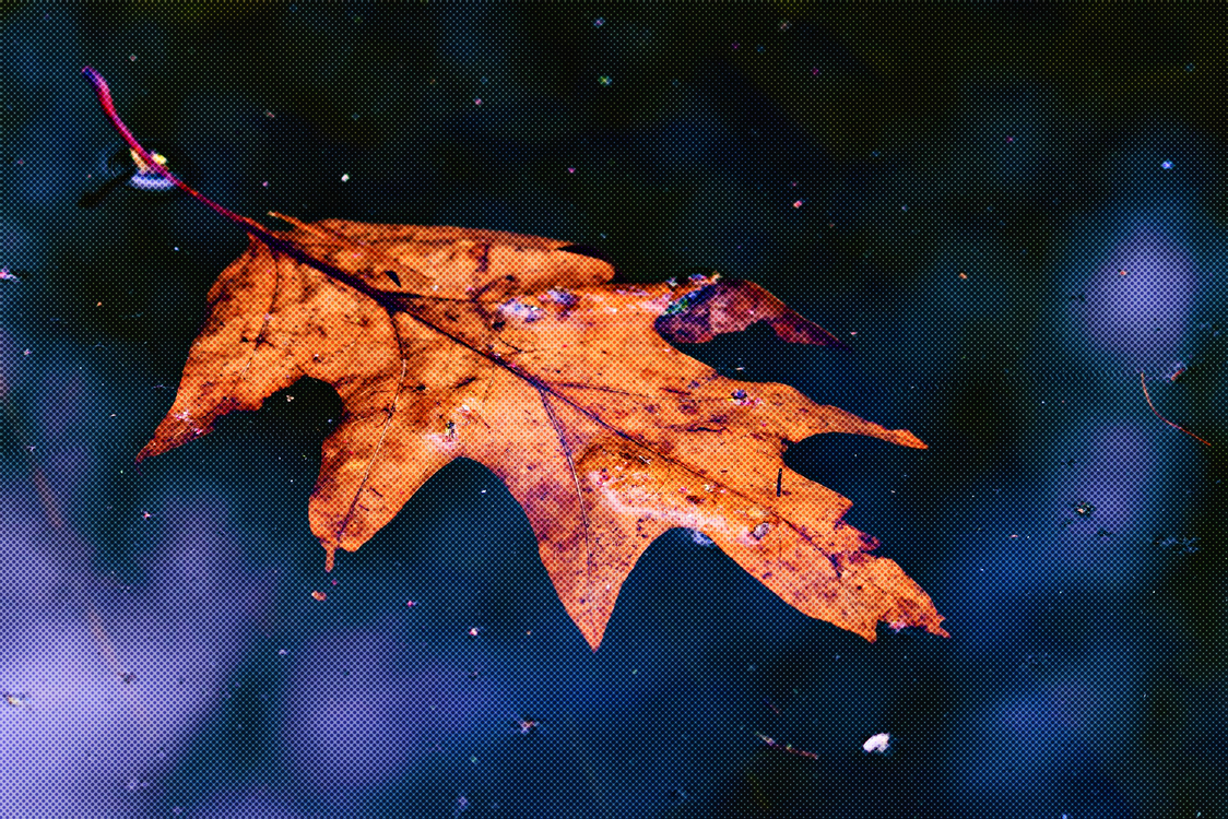 Leaf,Maple Leaf,Sky
